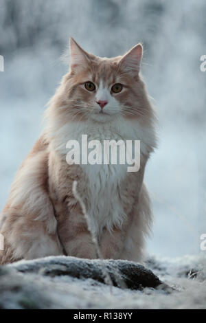 Big and strong norwegian forest cat male sitting in snow - Stock Photo