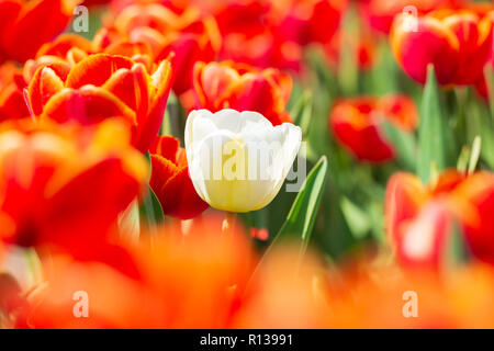 Single white Dutch tulip growing in a red flower bed during Springtime, Holland - Stock Photo