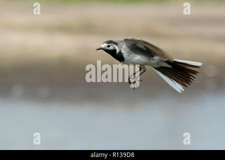Closeup of a White Wagtail, Motacilla alba, in flight. Bird with white, gray and black feathers. The White Wagtail is the national bird of Latvia - Stock Photo