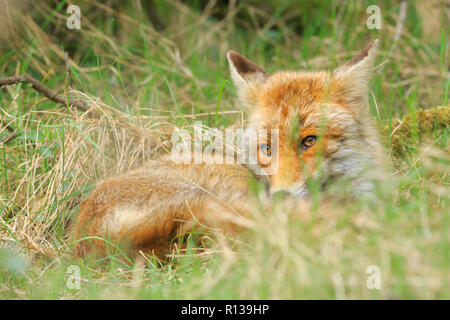 Low point view of a wild young red fox (vulpes vulpes) vixen resting and relaxing in meadow with grass and wood. - Stock Photo