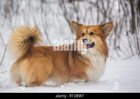 corgi fluffy dog at the outdoor. close up portrait at the snow. walking in winter - Stock Photo