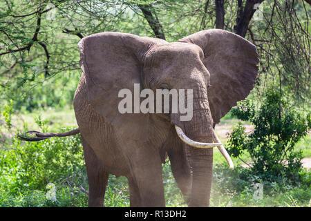 Wild elephant at Lake Manyara National Park. Tanzania. - Stock Photo
