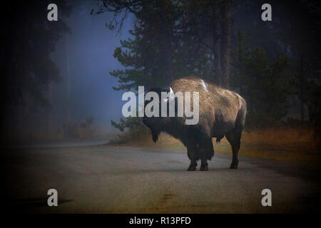 WY03521-00...WYOMING - Bison in the fog near Madison Junction of Yellowstone National Park. - Stock Photo