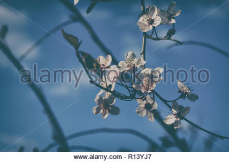 Close-up of cherry blossoms under a blue sky - Stock Photo