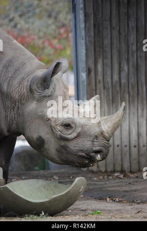 The black rhinoceros, hook-lipped rhinoceros, Diceros bicornis walking around his animal pen at the Lincoln Park Zoo in Chicago, Illinois. - Stock Photo