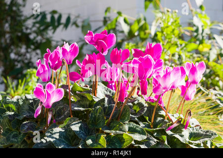 Pink Cyclamen growing in an English garden in October in UK - Stock Photo