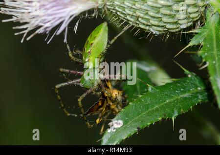 Green Lynx Spider, Peucetia viridans, female, with Zabulon Skipper, Poanes zabulon, male, on thistle, Cirsium sp. - Stock Photo