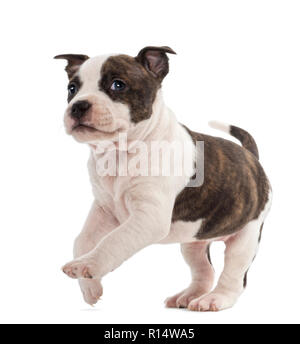 Portrait of American Staffordshire Terrier Puppy running, 6 weeks old, against white background - Stock Photo