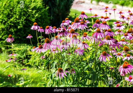 Pink Echinacea flowers (purple coneflower) on green nature background - Stock Photo