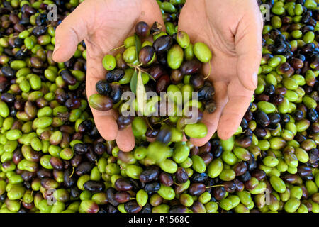 Green and black olives ready to be processed at the mill to get the olive oil in the hands of the farmer - Stock Photo