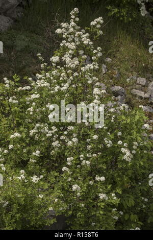 Elm-leaved Spiraea, Spiraea ulmifolia, in flower on Mount Biokovo, Croatia. - Stock Photo