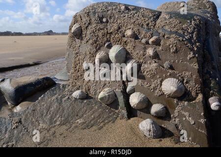 Common limpets (Patella vulgata) and Acorn barnacles (Semibalanus balanoides) attached to intertidal rocks, exposed by a falling tide, Cornwall, UK