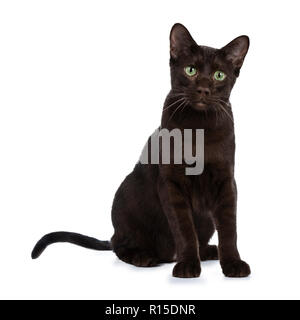 Young Havana Brown cat kitten sitting half side ways looking beside camera with mesmerising green eyes. Isolated on white background. - Stock Photo