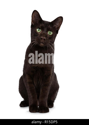 Young Havana Brown cat kitten sitting front view looking at lens with mesmerising green eyes and sweet droopy face. Isolated on white background. - Stock Photo