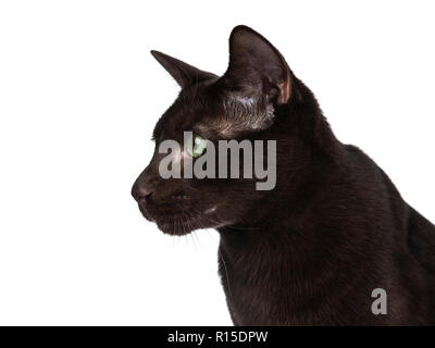 Profile head shot of young Havana Brown cat kitten looking sideways with mesmerising green eyes. Isolated on white background. - Stock Photo