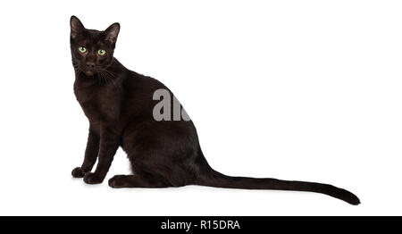 Young Havana Brown cat kitten sitting side ways looking straight at camera with mesmerising green eyes and long tail behind body. Isolated on white ba - Stock Photo
