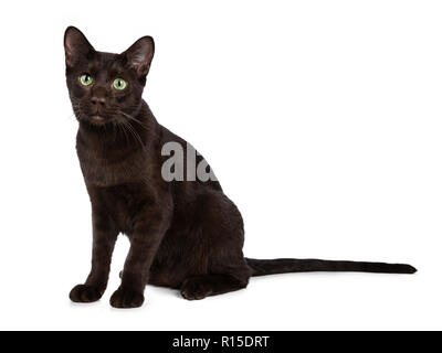Young Havana Brown cat kitten sitting half side ways looking straight ahead beside camera with mesmerising green eyes. Isolated on white background. - Stock Photo