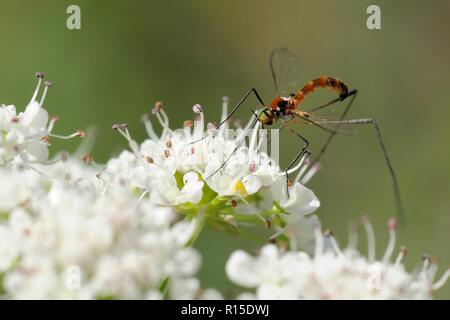 Net-winged midge (Apistomyia elegans), a rare insect whose larvae develop in clear mountain streams, feeding on streamside umbel flowers, Corsica - Stock Photo