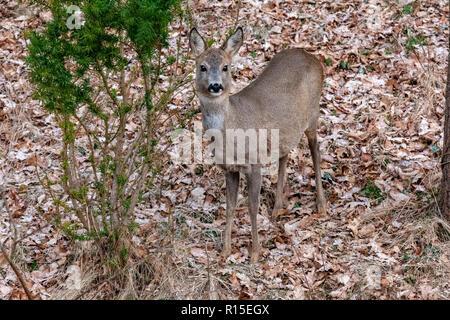 Roe Deer (Capreolus), Europe, Poland - Stock Photo