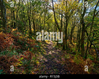 A woodland path winds downhill between tall trees and gritstone rocks - Stock Photo
