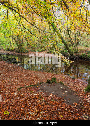 A carpet of fallen leaves by an inlet off the River Wharfe in STrid Wood in autumn at Bolton Abbey Yorkshire Dales England - Stock Photo