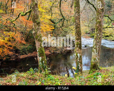 Three moss and lichen cobvered tree trunks by the River Wharfe in Strid Wood in autumn at Bolton Abbey Yorkshire Dales England - Stock Photo