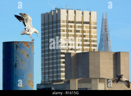 Lesser Black-Backed Gull (Larus fuscus) and herring gull in the centre of London, perched on a metal pole with South Bank office blocks in the backgro - Stock Photo