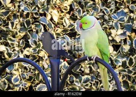 Rose ringed parakeet (Psittacula krameri) - Stock Photo