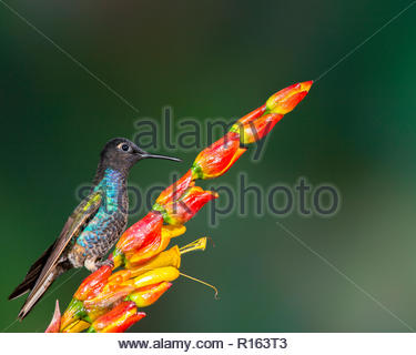 velvet-purple coronet perched on flower at Upper Tandayapa Valley, Ecuador - Stock Photo