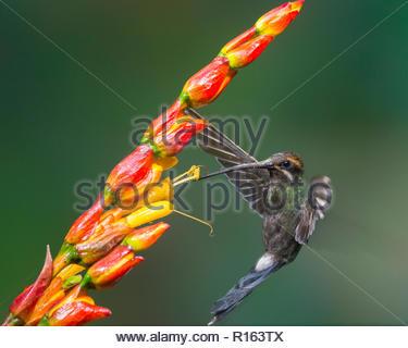 white-whiskered hermit getting nectar at Upper Tandayapa Valley, Ecuador - Stock Photo