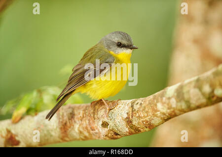 Eastern yellow robin (Eopsaltria australis), sitting on a branch, Lamington National Park, Queensland, Australia - Stock Photo