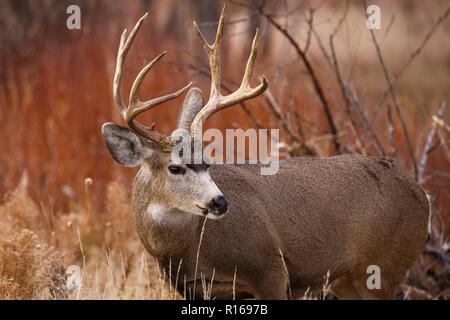 Mule deer buck in autumn foliage with large antlers - Stock Photo