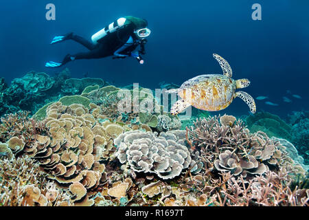 Diver dives at coral reef with different stone corals (Hexacorallia) observes Green turtle (Chelonia mydas), Great barrier reef - Stock Photo