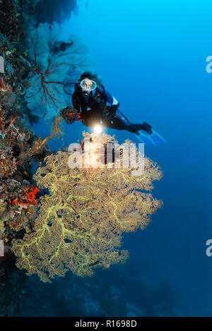 Diver with lamp on coral reef wall looking at Giant Sea Fan (Annella mollis), Pacific, Queensland, Australia - Stock Photo