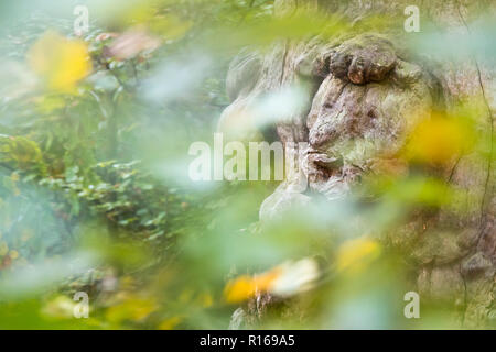 Tree face at an 800 years old Beech (Fagus), primeval forest Sababurg, Hesse, Germany - Stock Photo
