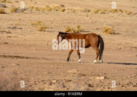 Brown wild mustang in a desert in Nevada, USA, walking alone - Stock Photo
