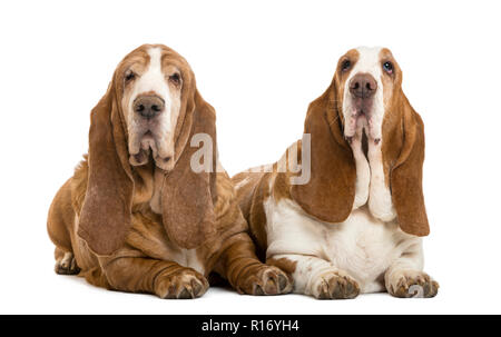 Two Basset Hounds lying, isolated on white - Stock Photo