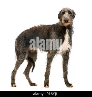 Scottish Deerhound looking at the camera, isolated on white - Stock Photo