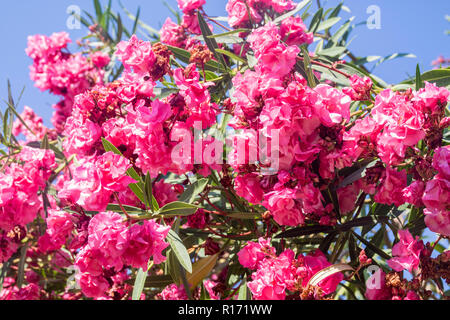 popular italian cerise pink tree, Nerium oleander pompeii italy, lush summer concept, bright colours of nature concept, vacation, trees plants, I - Stock Photo