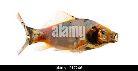 Shubunkin, mouth opened Carassius auratus, isolated on white - Stock Photo