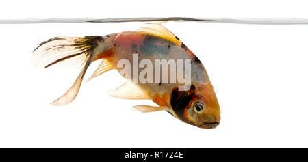 Shubunkin swimming under water line, Carassius auratus, isolated on white - Stock Photo