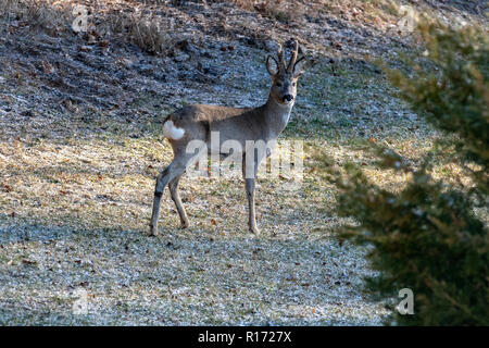 Roe Deer (Capreolus), Europe, Poland