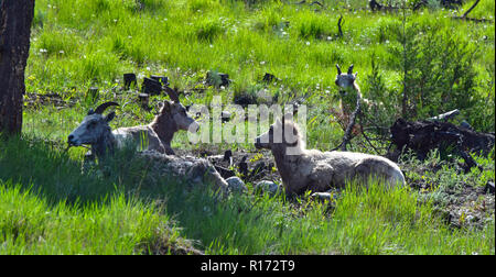 Invermere mountain sheep. - Stock Photo
