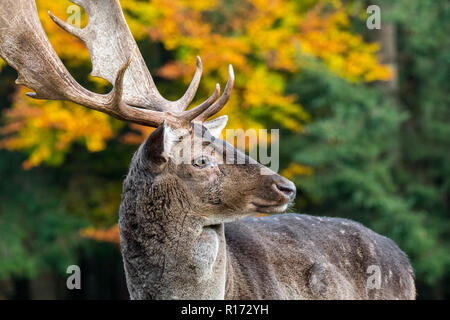 Close up portrait of fallow deer (Dama dama) buck / male with big antlers in autumn forest
