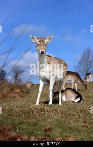 A wild graceful young deer looking straight at the camera at Knole Park - Stock Photo