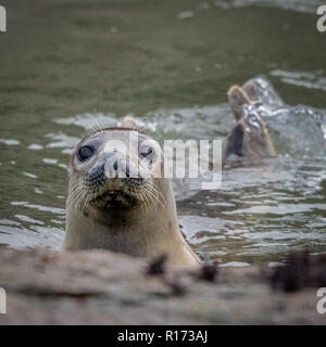 Close-Up of Grey Seal (Halichoerus grypus) Swimming and Looking - Stock Photo