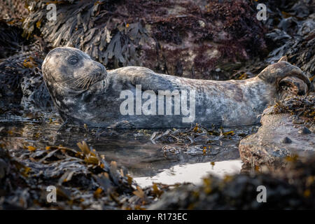 Grey Seal (Halichoerus grypus) Lying in a Rock Pool - Stock Photo