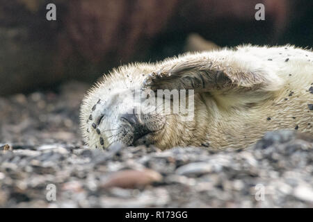 Sleepy Grey Seal Pup (Halichoerus grypus) - Stock Photo