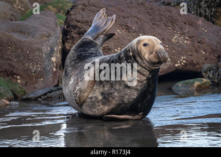 Grey Seal Bull ( Halichoerus grypus) - Stock Photo