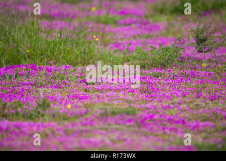 bright purple or magenta wild flower patch in the wild landscape of the Cape Province, South Africa during Spring - Stock Photo